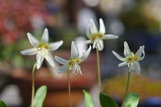 洋種白花カタクリIMGP7595