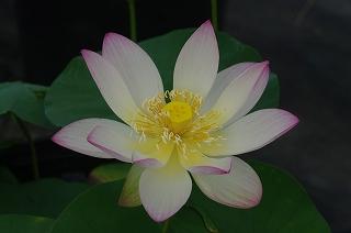 园小舞�:(j9�%_小舞妃の本咲きです.
